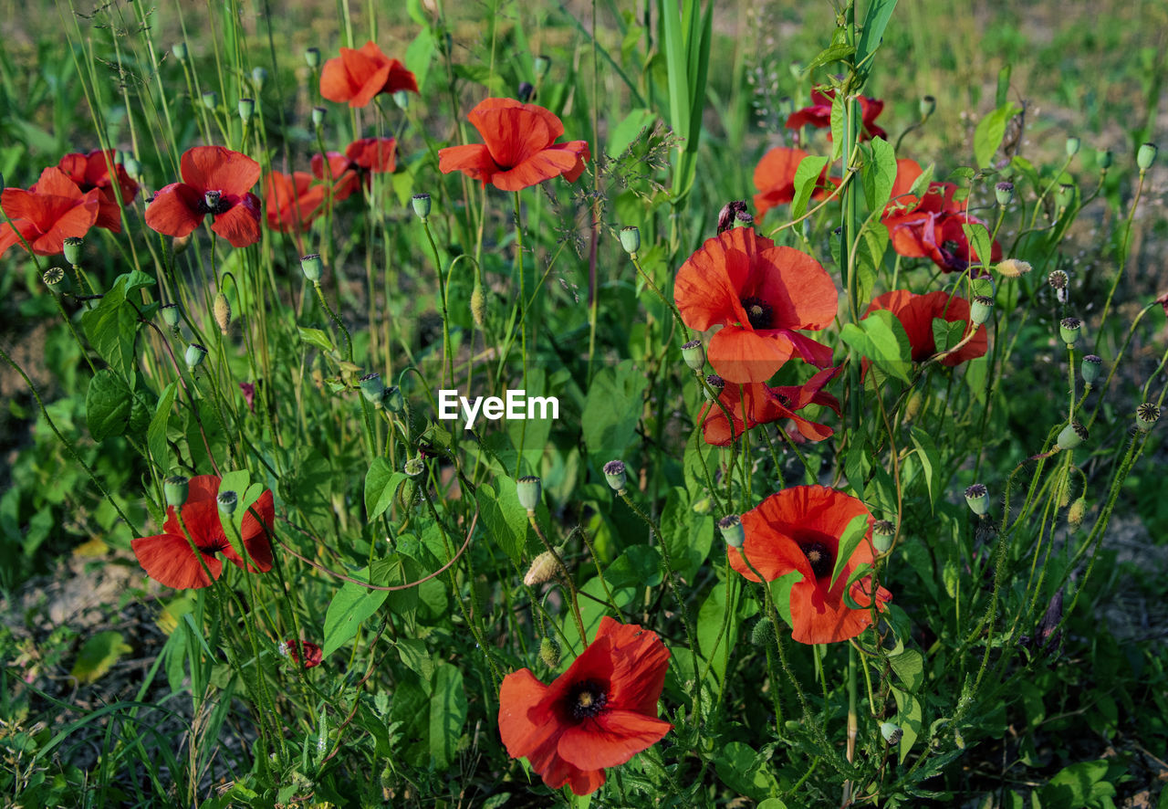flowering plant, flower, plant, freshness, beauty in nature, growth, fragility, vulnerability, petal, red, nature, field, poppy, flower head, close-up, inflorescence, green color, land, no people, day, outdoors