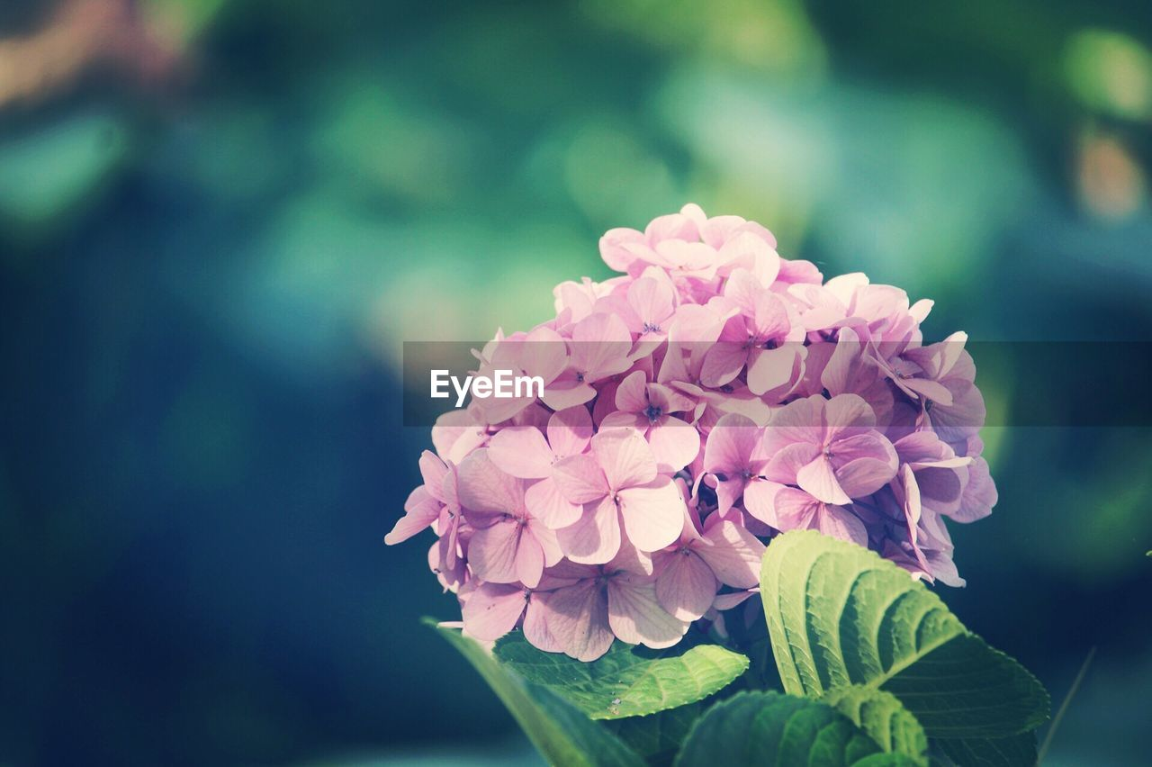 flower, beauty in nature, nature, petal, fragility, growth, focus on foreground, freshness, close-up, plant, flower head, day, outdoors, no people, pink color, blooming