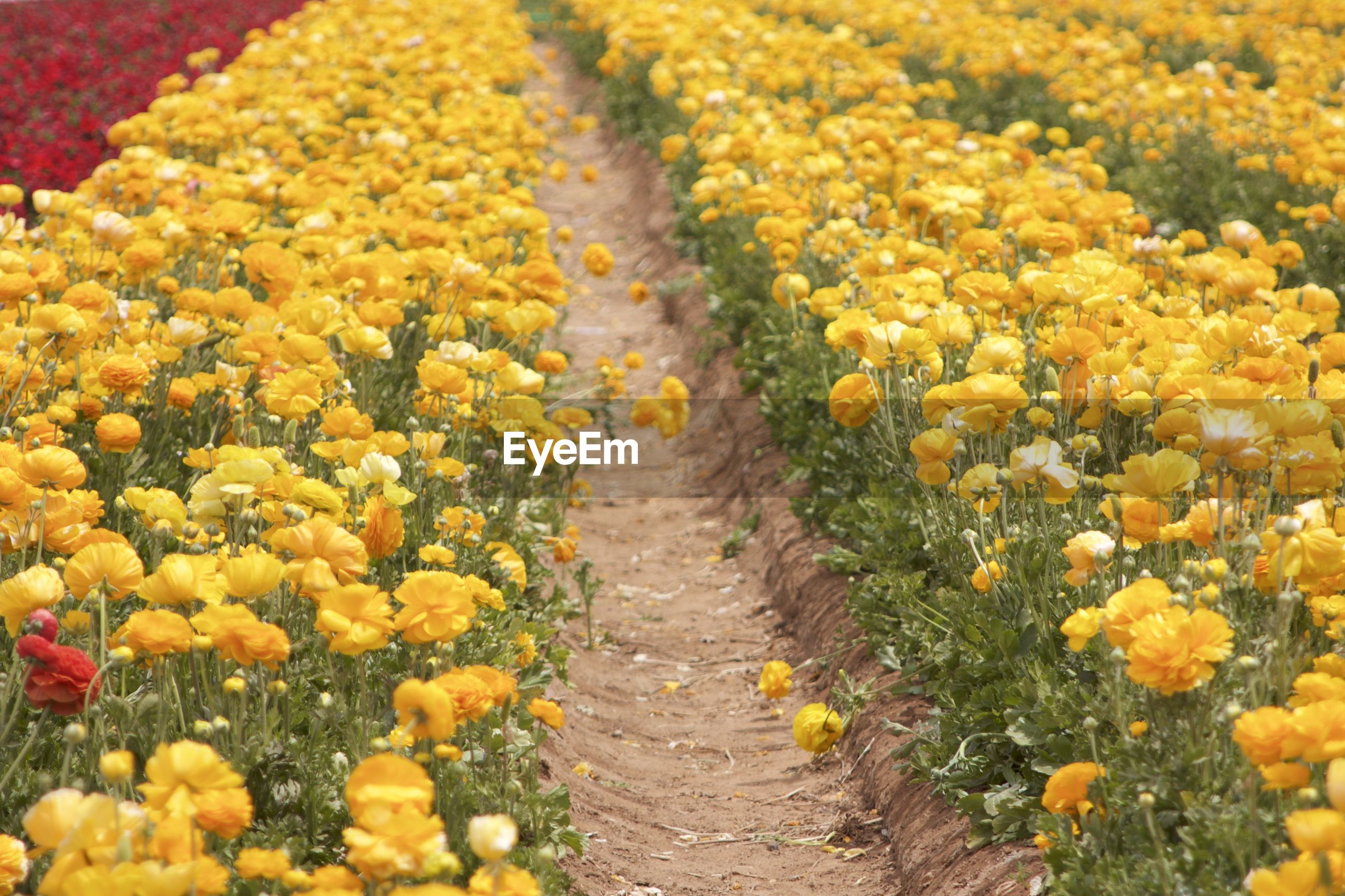 View of yellow flowering plants in field