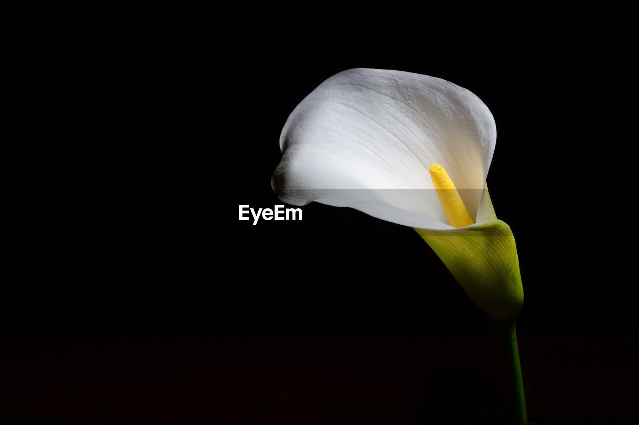 flower, flowering plant, fragility, vulnerability, petal, beauty in nature, freshness, inflorescence, plant, flower head, studio shot, close-up, black background, calla lily, white color, copy space, no people, growth, nature, pollen
