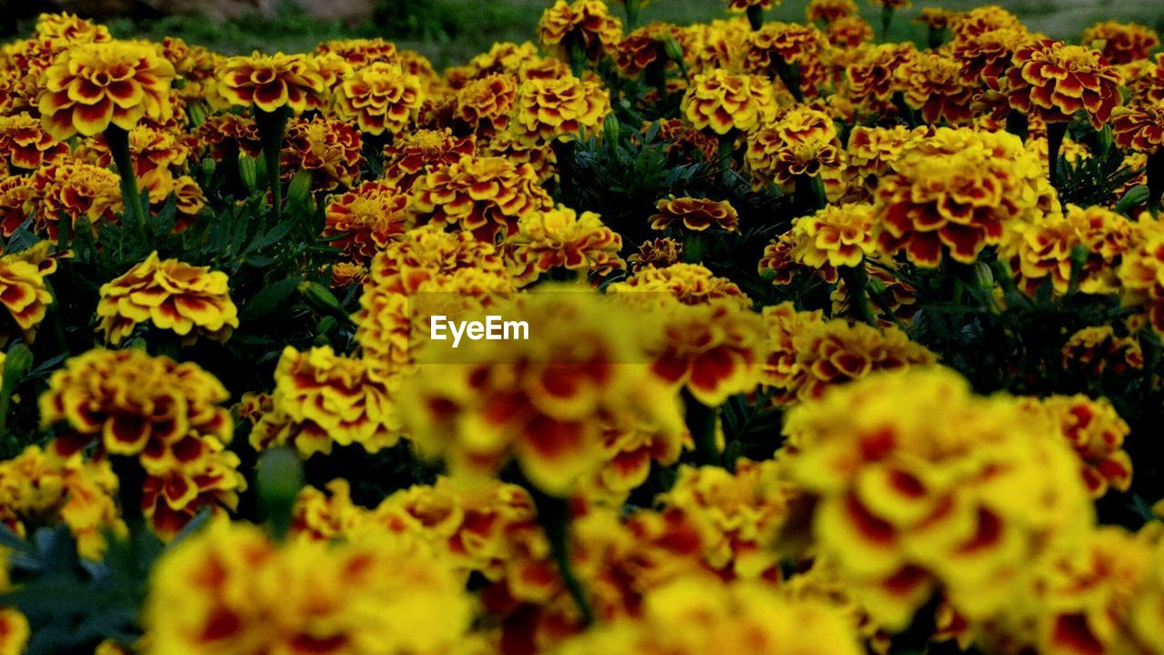 flower, yellow, fragility, nature, freshness, beauty in nature, plant, flower head, growth, petal, selective focus, marigold, blooming, no people, outdoors, day, close-up, springtime, flower market