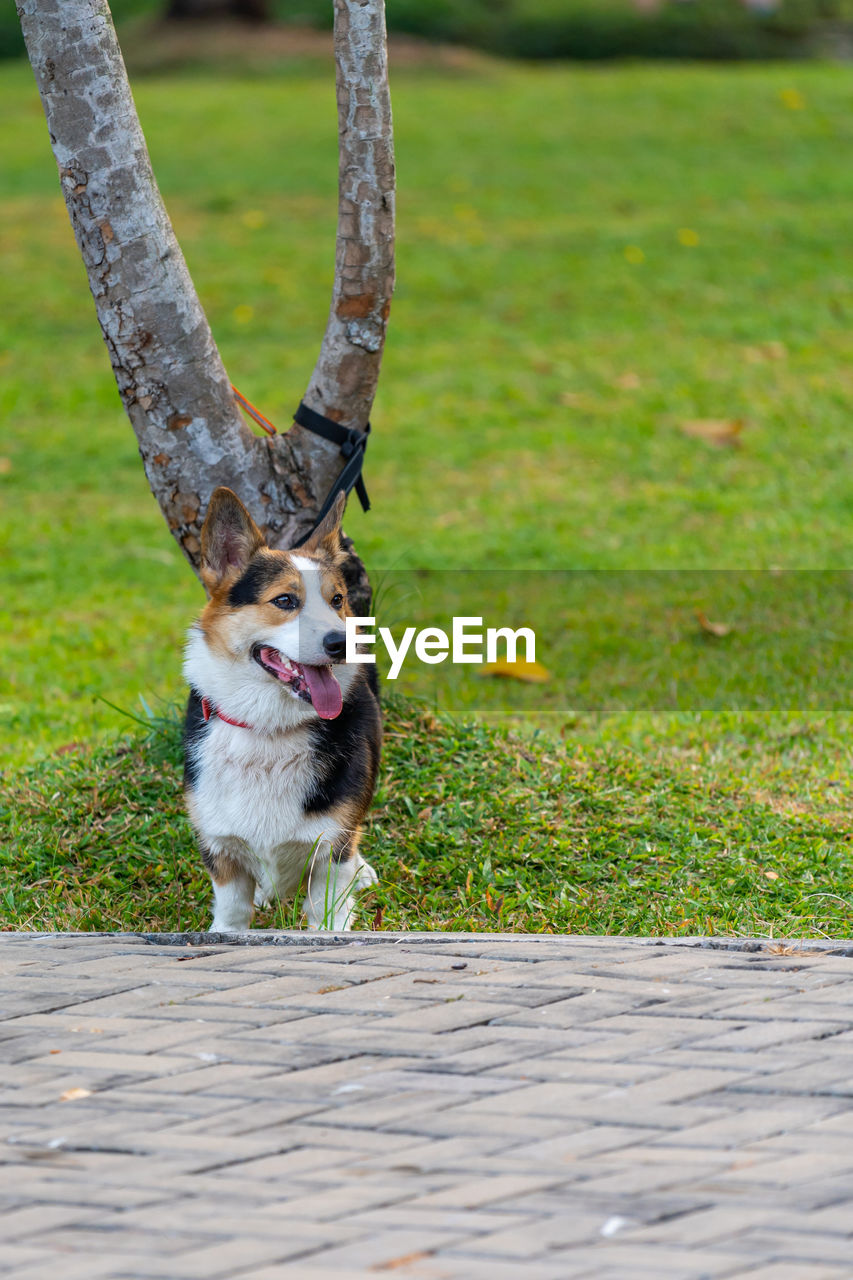 PORTRAIT OF A DOG LOOKING AWAY ON FIELD