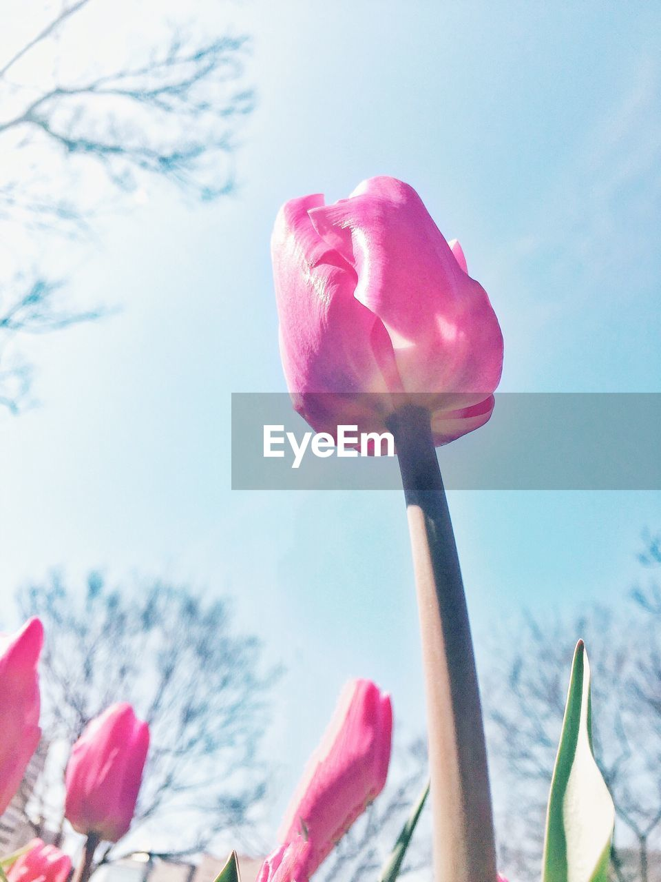 flower, pink color, petal, fragility, beauty in nature, nature, growth, flower head, tulip, freshness, blooming, sky, plant, day, close-up, outdoors, low angle view, no people, springtime