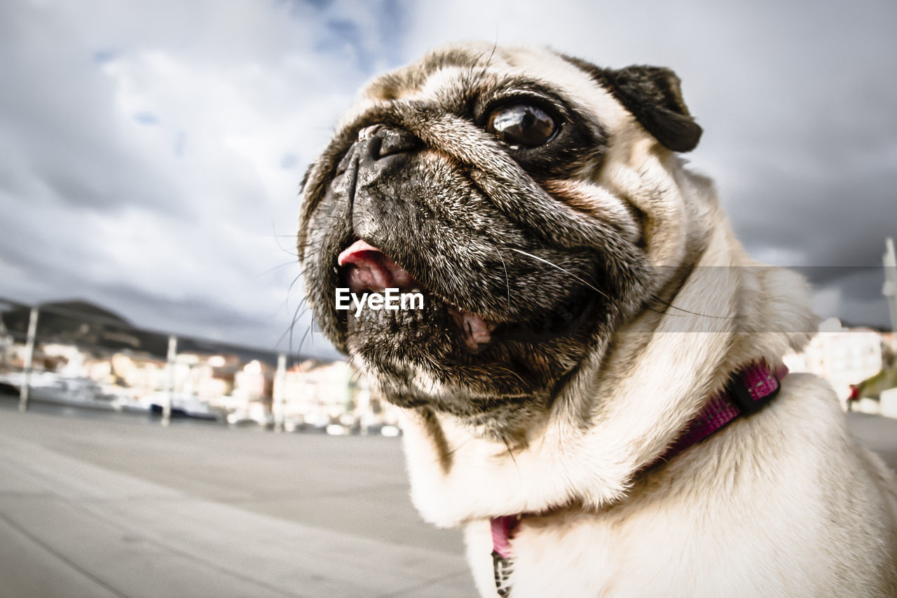 one animal, dog, canine, pets, domestic, mammal, domestic animals, animal themes, animal, vertebrate, close-up, focus on foreground, lap dog, looking, looking away, pug, no people, animal body part, cloud - sky, day, animal head, small