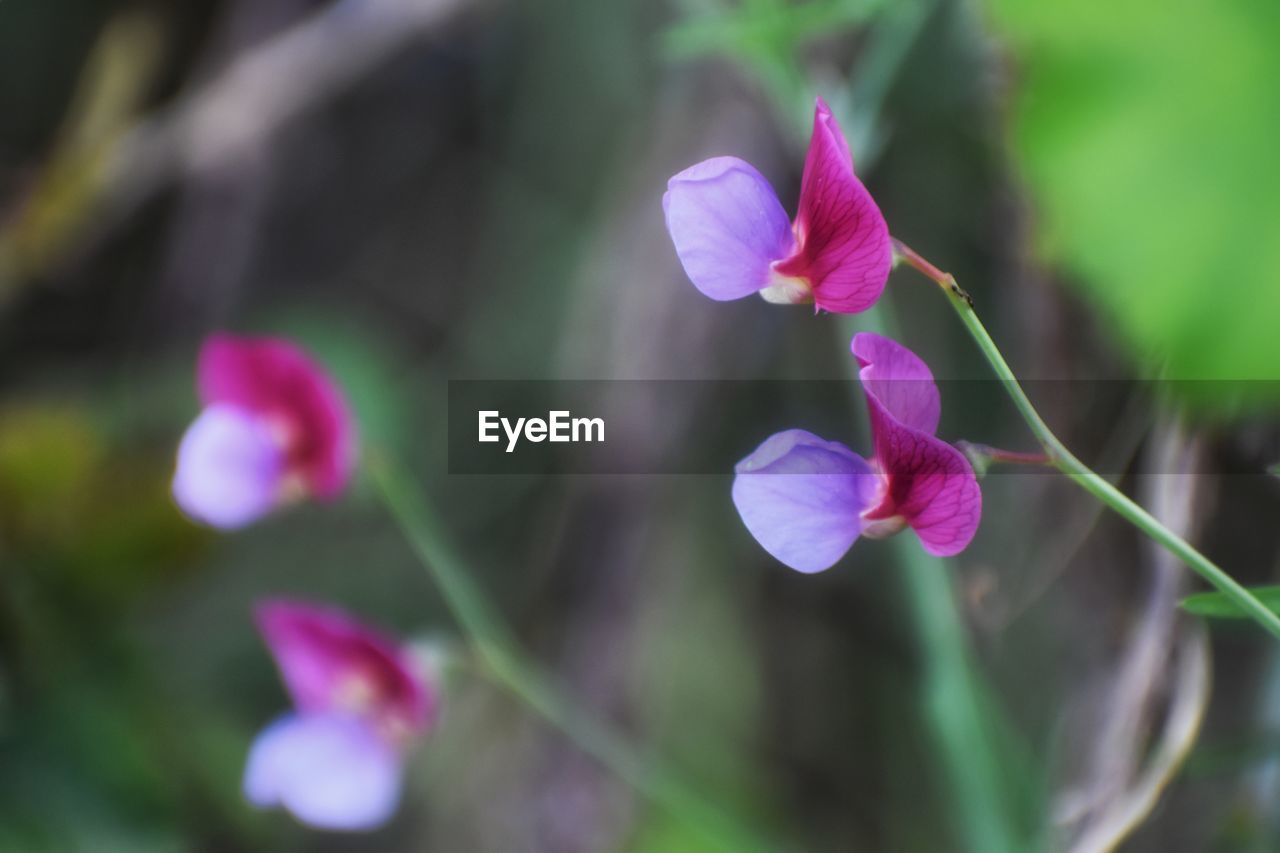 flowering plant, flower, fragility, vulnerability, beauty in nature, plant, freshness, petal, growth, close-up, inflorescence, flower head, purple, pink color, nature, selective focus, no people, day, focus on foreground, outdoors