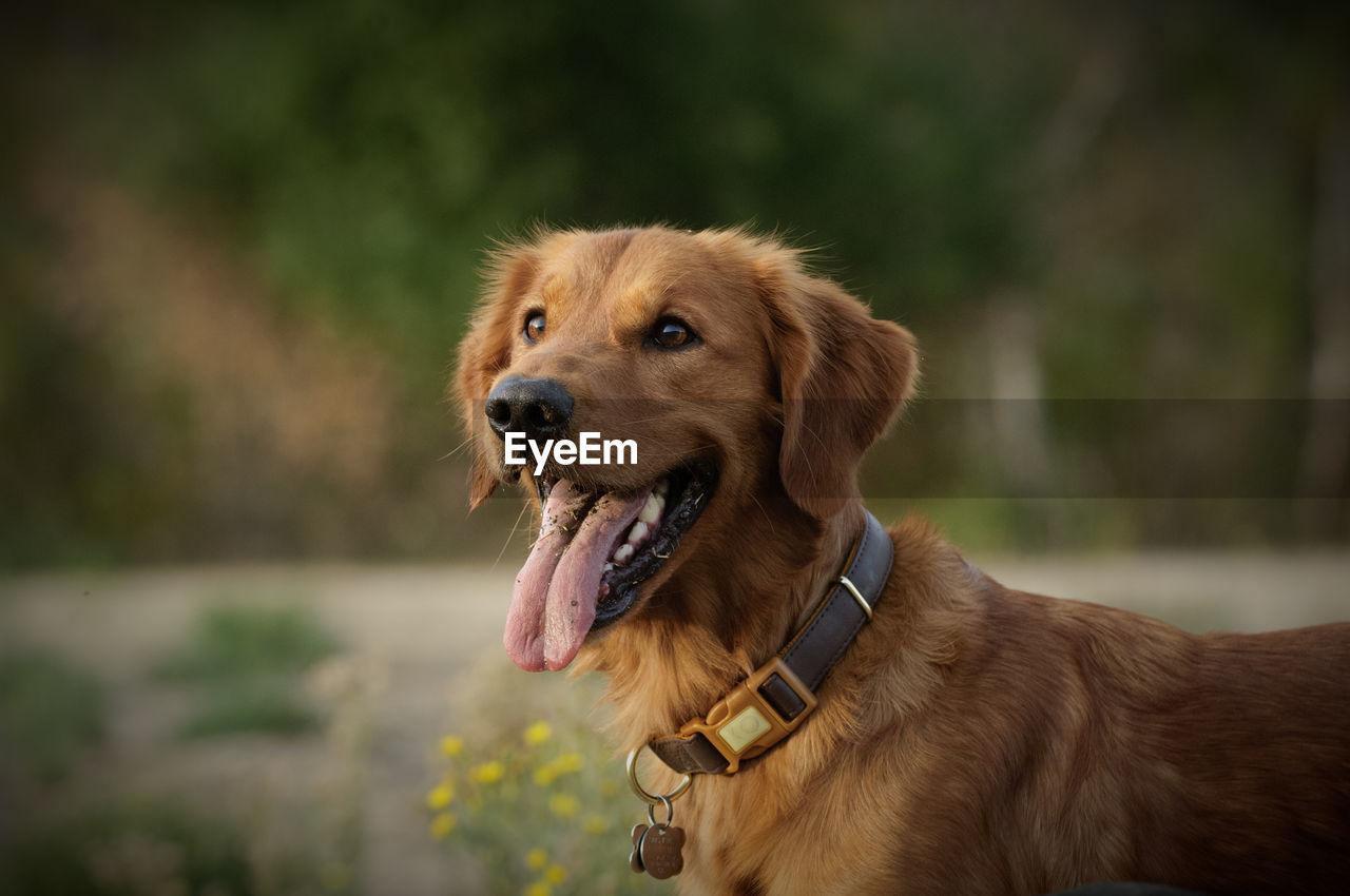 canine, one animal, dog, pets, domestic, domestic animals, mammal, animal themes, animal, vertebrate, pet collar, brown, looking away, collar, focus on foreground, looking, no people, retriever, day, golden retriever, mouth open, panting, animal head, animal tongue, purebred dog