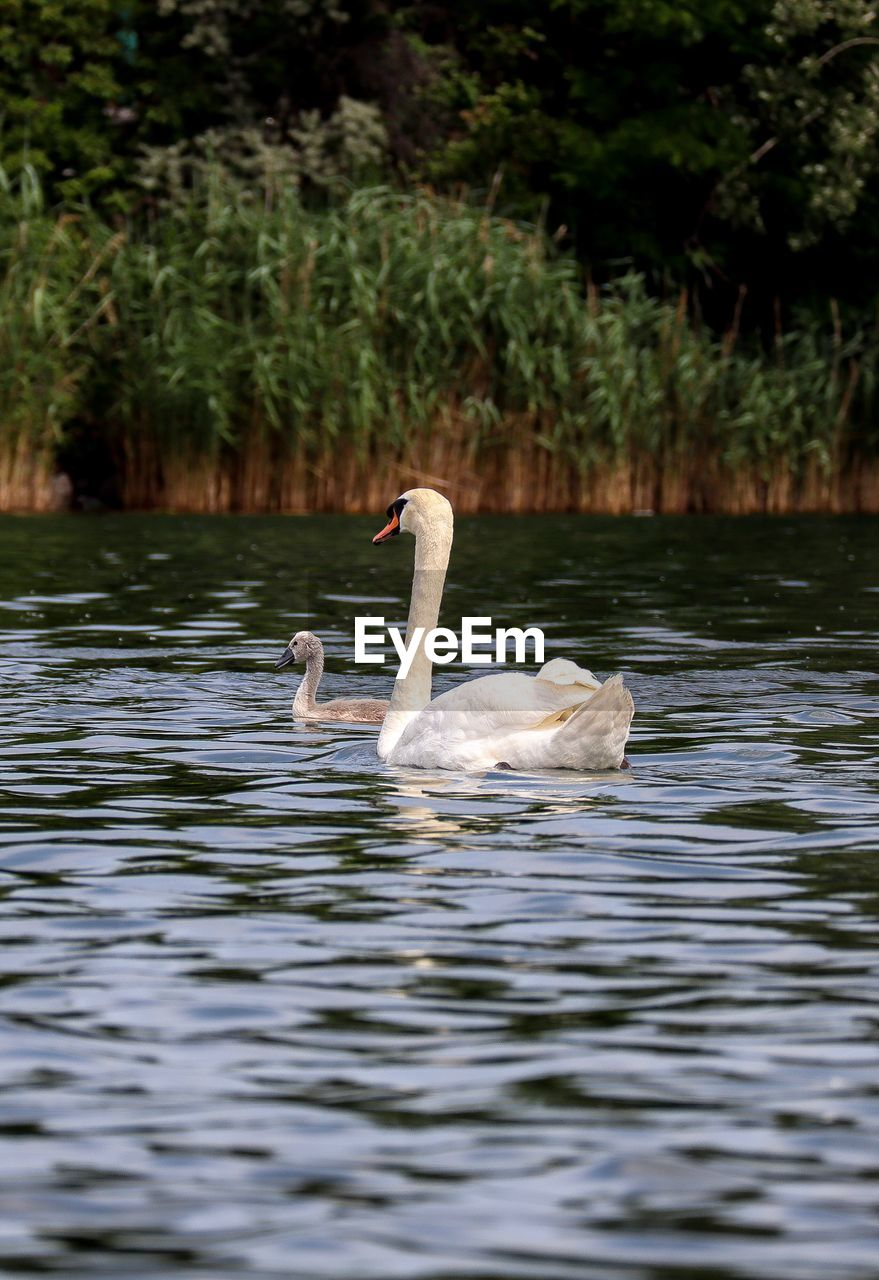 water, animals in the wild, vertebrate, animal themes, bird, animal wildlife, animal, lake, group of animals, swan, swimming, waterfront, two animals, nature, water bird, day, zoology, beauty in nature, no people, cygnet, animal family, outdoors, floating on water, animal neck