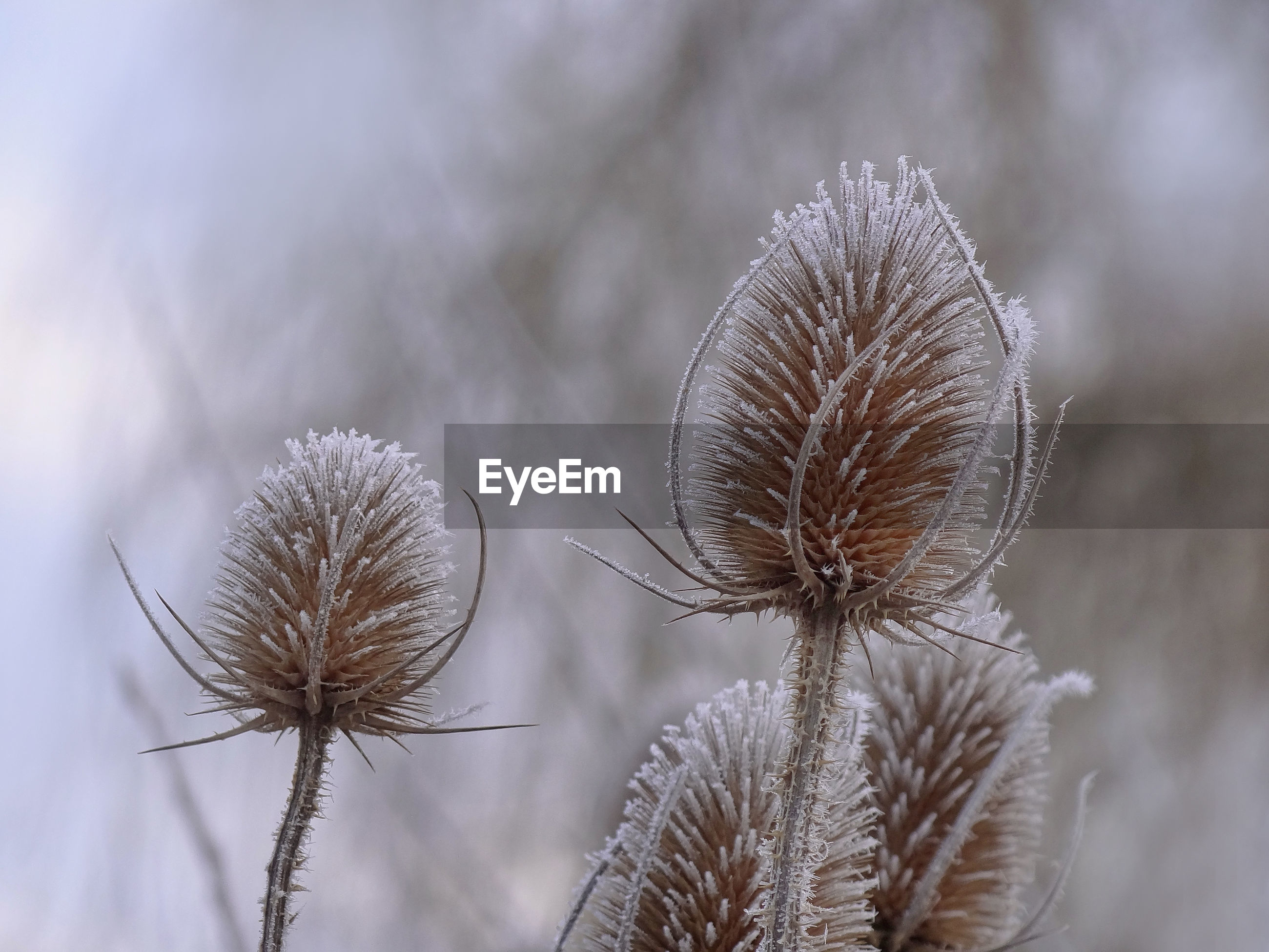 CLOSE-UP OF DRIED PLANT AGAINST SNOW COVERED PLANTS
