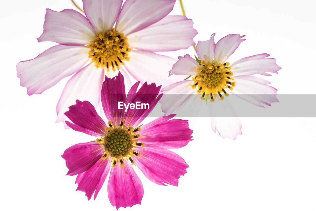 flowering plant, flower, fragility, freshness, vulnerability, petal, beauty in nature, flower head, inflorescence, plant, close-up, growth, studio shot, no people, pollen, nature, white background, cosmos flower, pink color, purple