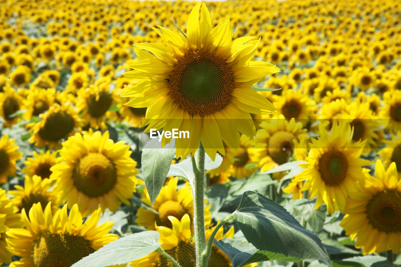 Sunflowers blooming outdoors
