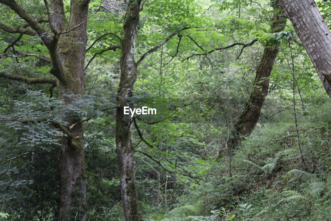 tree, plant, forest, land, tree trunk, trunk, growth, nature, day, no people, green color, woodland, tranquility, lush foliage, branch, foliage, outdoors, beauty in nature, tranquil scene, environment, rainforest