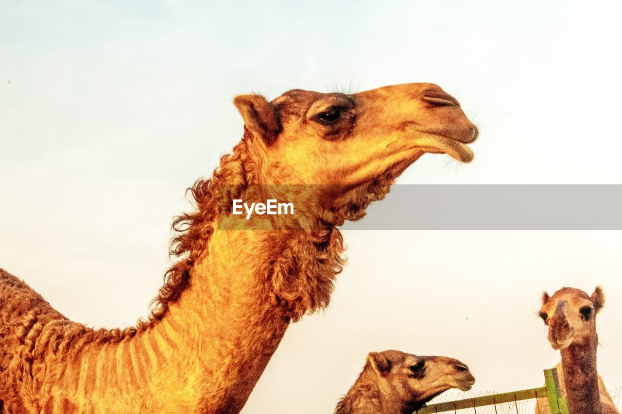 mammal, animal themes, animal, domestic animals, pets, group of animals, domestic, vertebrate, two animals, no people, camel, brown, livestock, togetherness, sky, looking, canine, animal wildlife, nature, herbivorous, mouth open, animal head, animal family