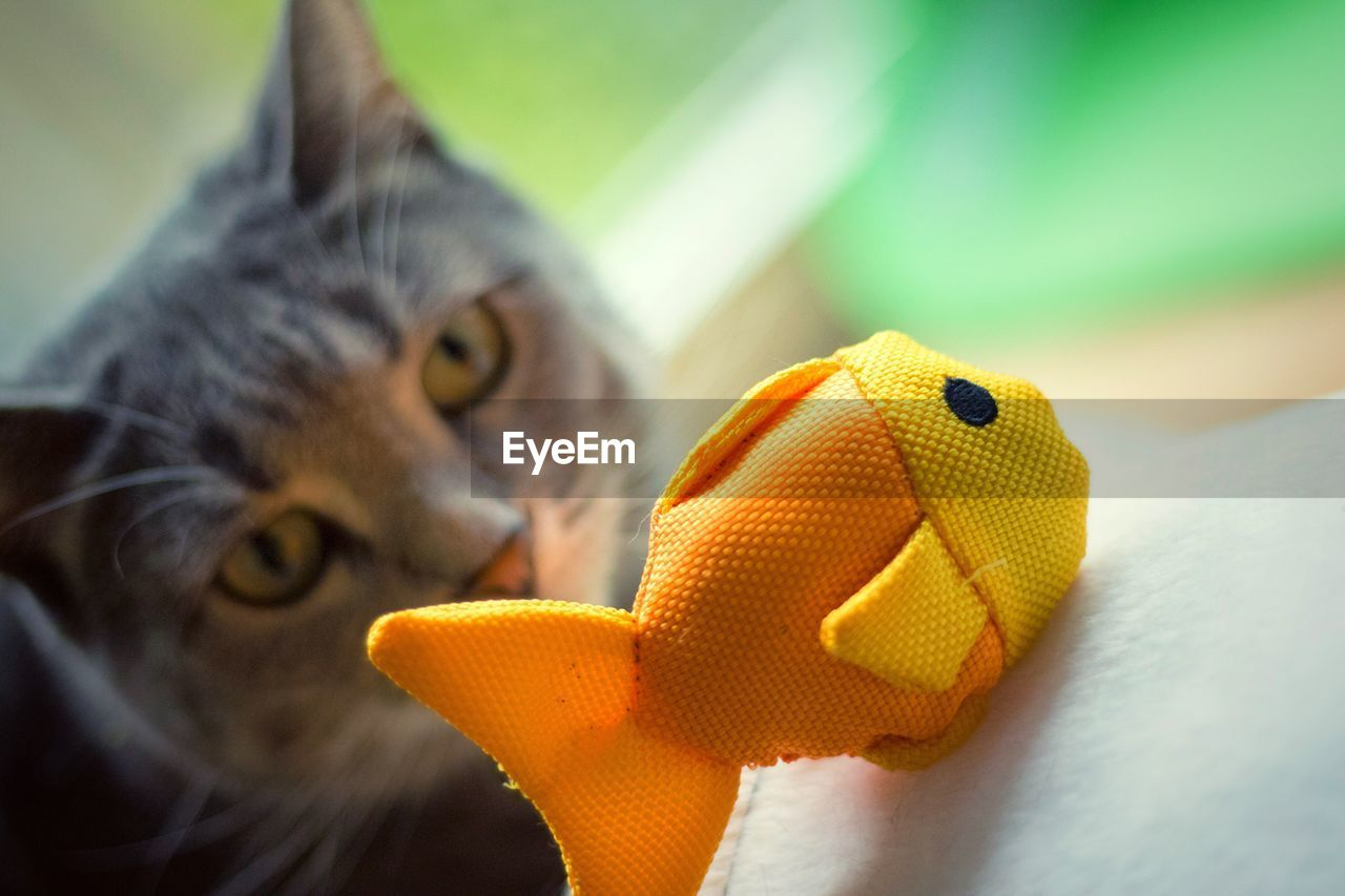 Cat Staring At Toy Fish