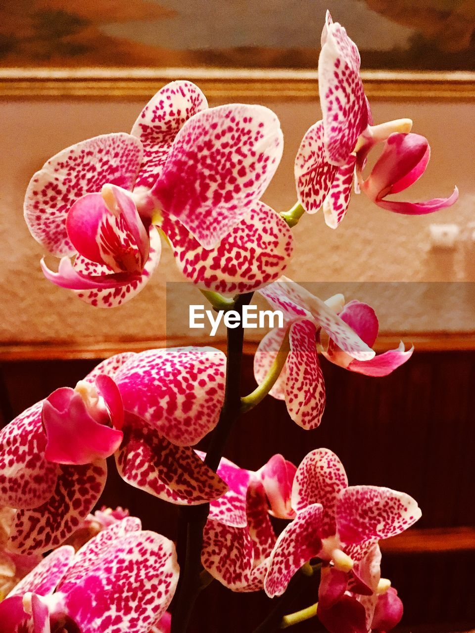 flower, flowering plant, freshness, vulnerability, beauty in nature, fragility, close-up, pink color, petal, plant, no people, flower head, inflorescence, indoors, growth, nature, orchid, focus on foreground, home interior, day