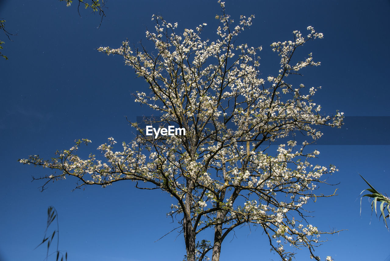 plant, tree, flower, branch, flowering plant, low angle view, sky, beauty in nature, growth, nature, blue, clear sky, fragility, blossom, no people, day, springtime, outdoors, sunlight, vulnerability, cherry blossom