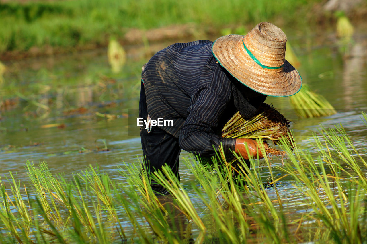 Farmer Harvesting Rice From Field