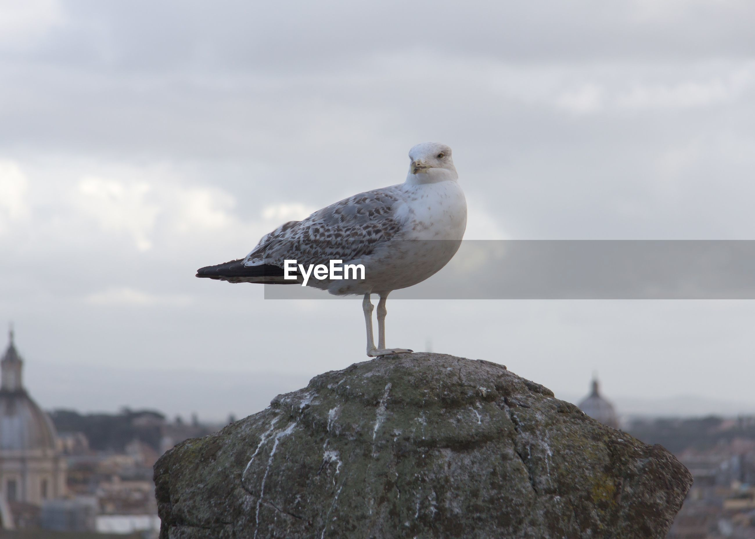 Close-up of seagull perching on rock against sky
