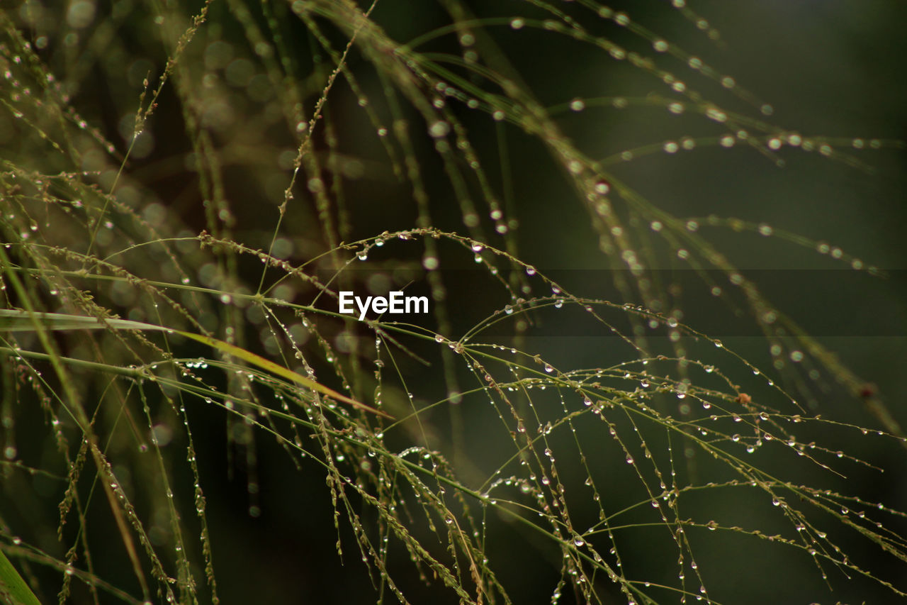 drop, fragility, wet, beauty in nature, spider web, plant, close-up, water, vulnerability, focus on foreground, nature, growth, no people, day, selective focus, spider, outdoors, tranquility, dew, web, rain, complexity, raindrop, blade of grass