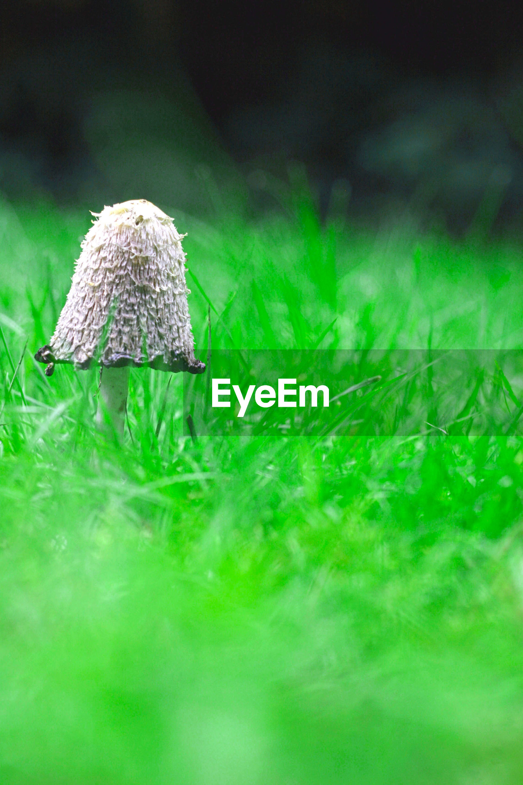 close-up, grass, selective focus, green color, focus on foreground, mushroom, fungus, growth, field, nature, still life, fragility, plant, no people, day, single object, green, beauty in nature, outdoors, toadstool