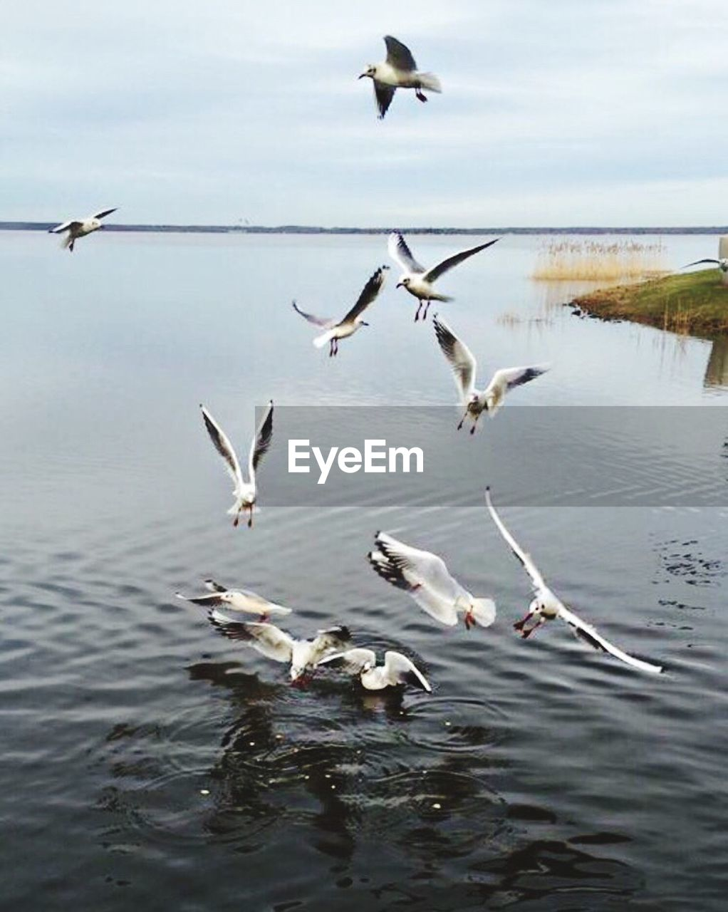 animals in the wild, animal themes, bird, flying, lake, animal wildlife, nature, spread wings, water, no people, large group of animals, day, outdoors, flock of birds, mid-air, beauty in nature, sky