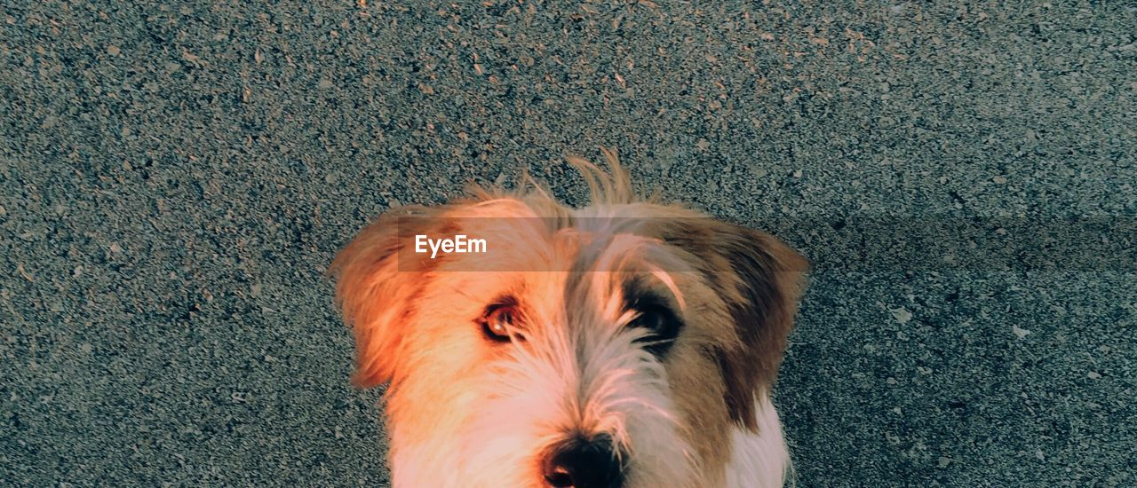 domestic, pets, domestic animals, animal themes, animal, mammal, one animal, vertebrate, canine, dog, high angle view, no people, day, portrait, animal body part, standing, looking at camera, outdoors, land, directly above, animal head