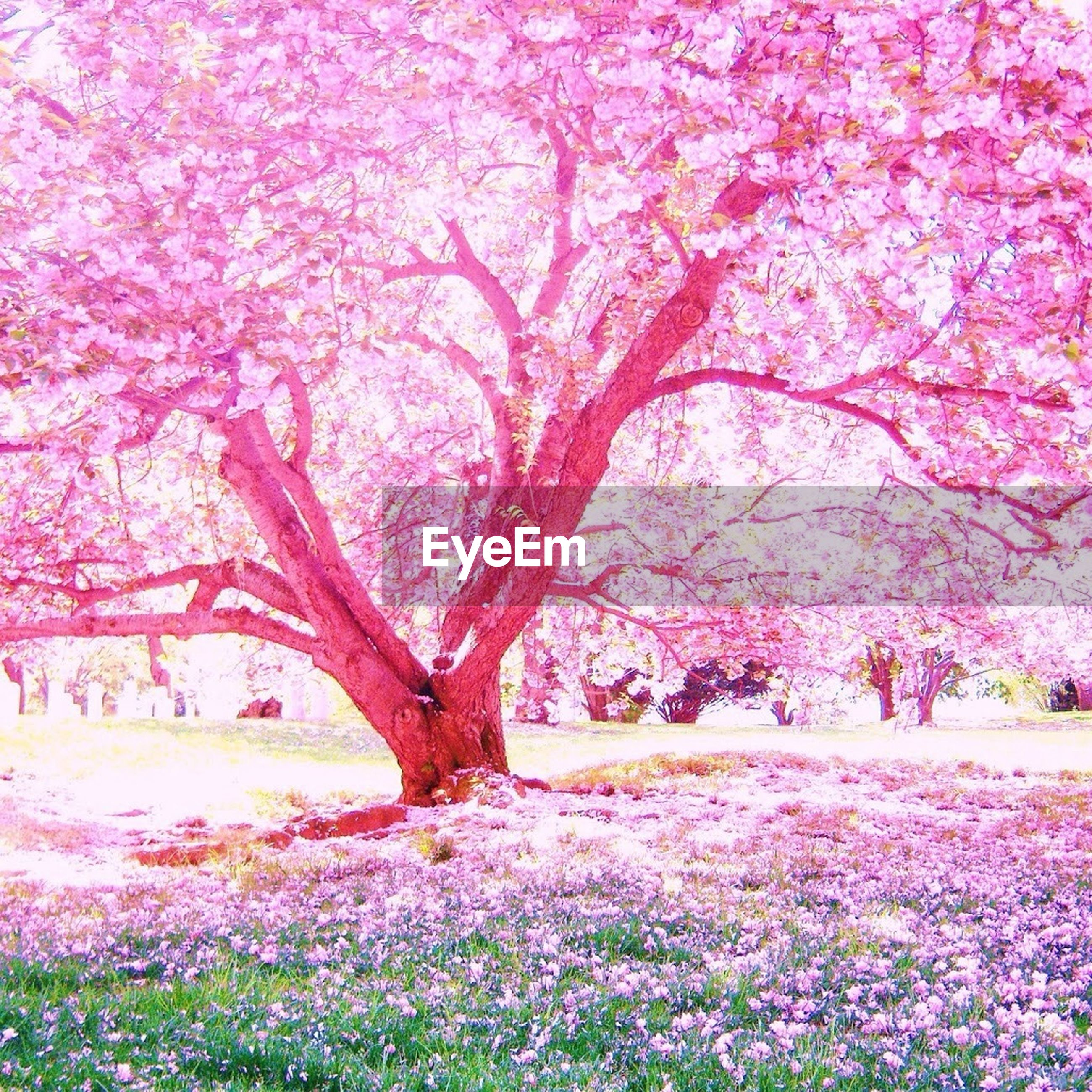 flower, tree, growth, pink color, beauty in nature, freshness, nature, branch, plant, fragility, tranquility, tranquil scene, in bloom, blossom, park - man made space, sunlight, scenics, blooming, day, outdoors