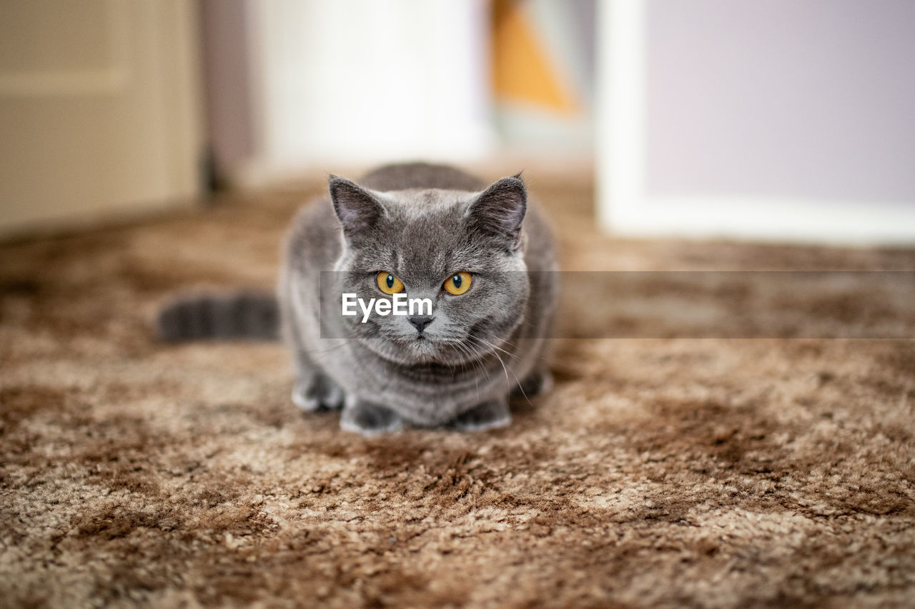 cat, domestic cat, domestic, pets, feline, domestic animals, one animal, mammal, selective focus, no people, portrait, vertebrate, looking at camera, relaxation, day, whisker, indoors, yellow eyes, animal eye