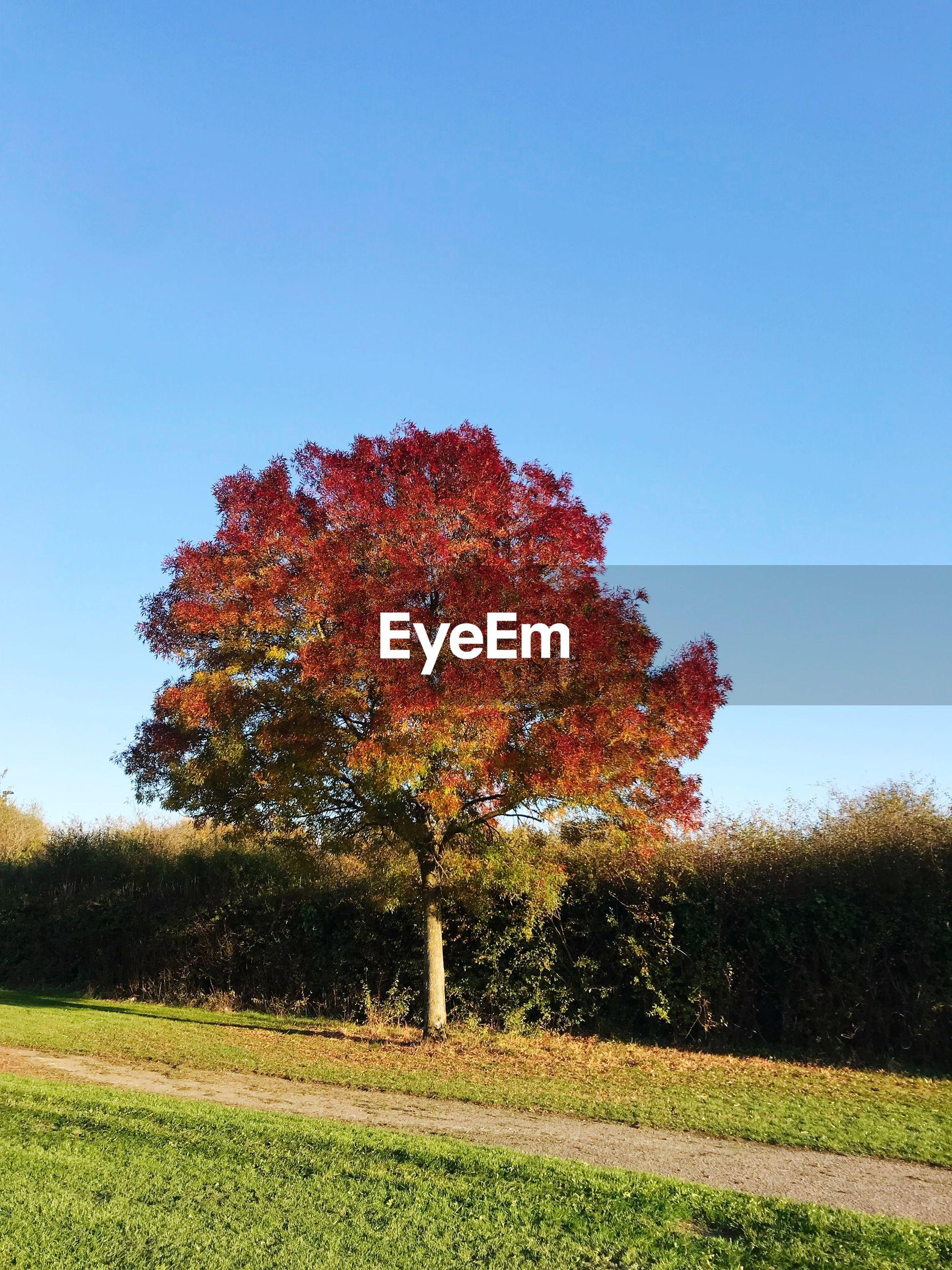 AUTUMN TREE ON FIELD AGAINST CLEAR SKY