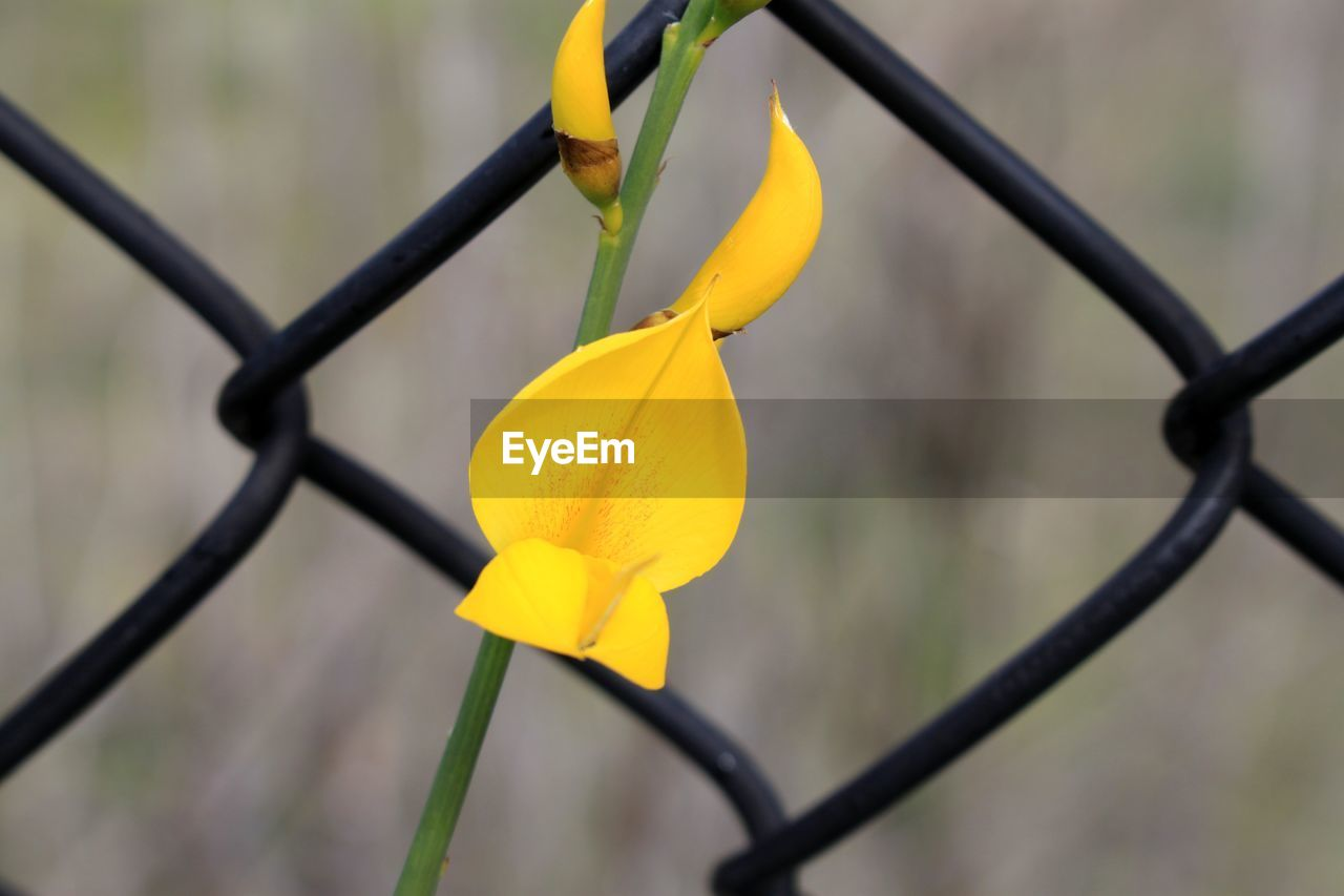 yellow, focus on foreground, close-up, chainlink fence, protection, safety, day, outdoors, flower, no people, petal, nature, growth, plant, flower head, fragility, beauty in nature, freshness