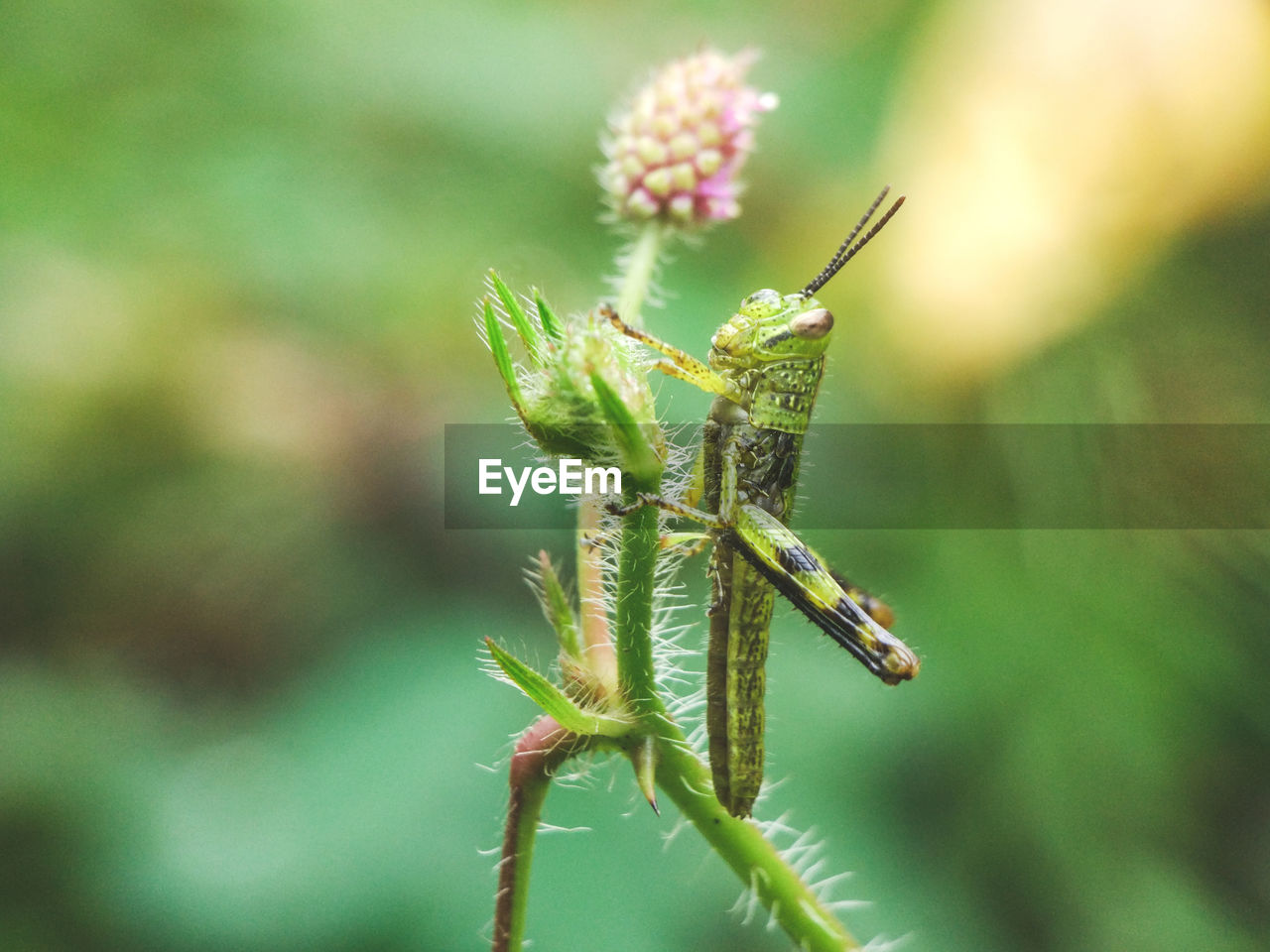 close-up, one animal, invertebrate, insect, animal wildlife, animals in the wild, plant, animal themes, animal, nature, green color, day, focus on foreground, beauty in nature, growth, no people, flower, flowering plant, selective focus, grasshopper, outdoors
