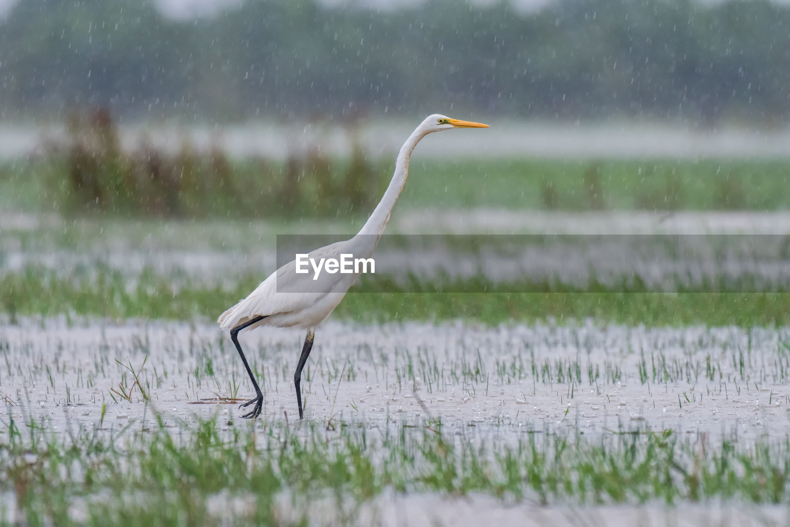 Side view of a great egret bird in water