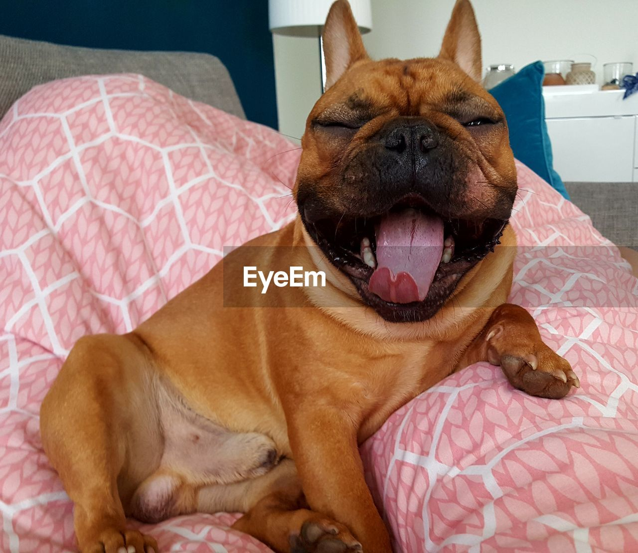 animal themes, domestic animals, animal, domestic, mammal, pets, one animal, dog, canine, vertebrate, indoors, relaxation, furniture, bed, facial expression, sticking out tongue, no people, home interior, mouth, close-up, mouth open, animal tongue