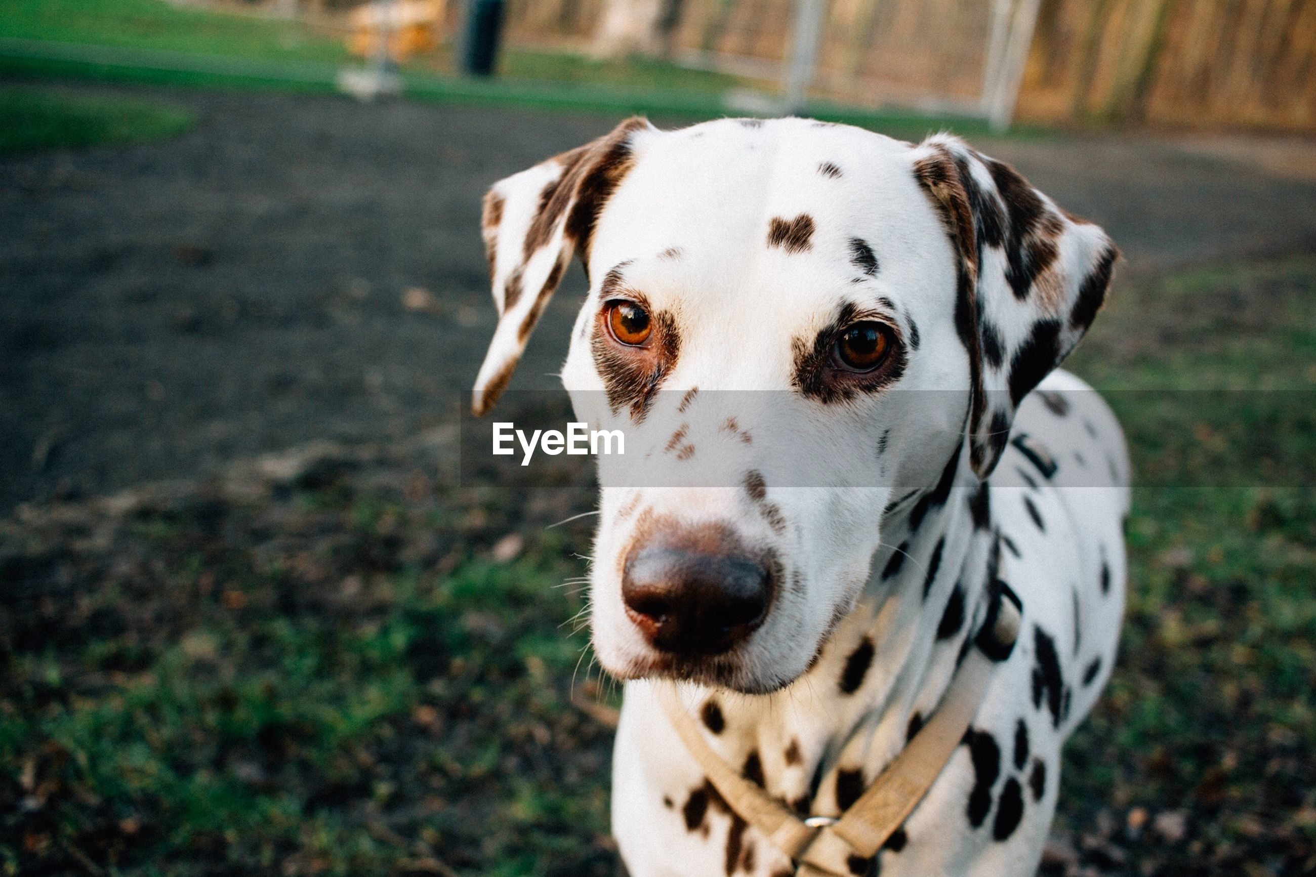 Close-up of dalmatian dog on field
