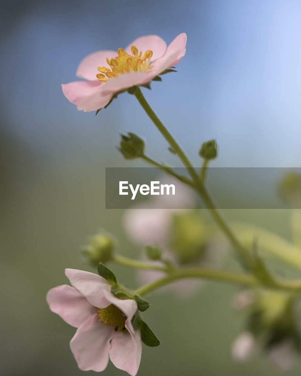 flowering plant, flower, plant, fragility, vulnerability, beauty in nature, petal, freshness, growth, close-up, focus on foreground, inflorescence, flower head, nature, pink color, day, no people, plant stem, outdoors, bud, pollen, spring