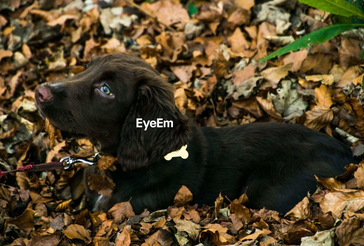 animal, mammal, animal themes, canine, one animal, dog, domestic, domestic animals, black color, pets, vertebrate, plant part, leaf, autumn, nature, no people, day, young animal, land, side view, change, outdoors, leaves