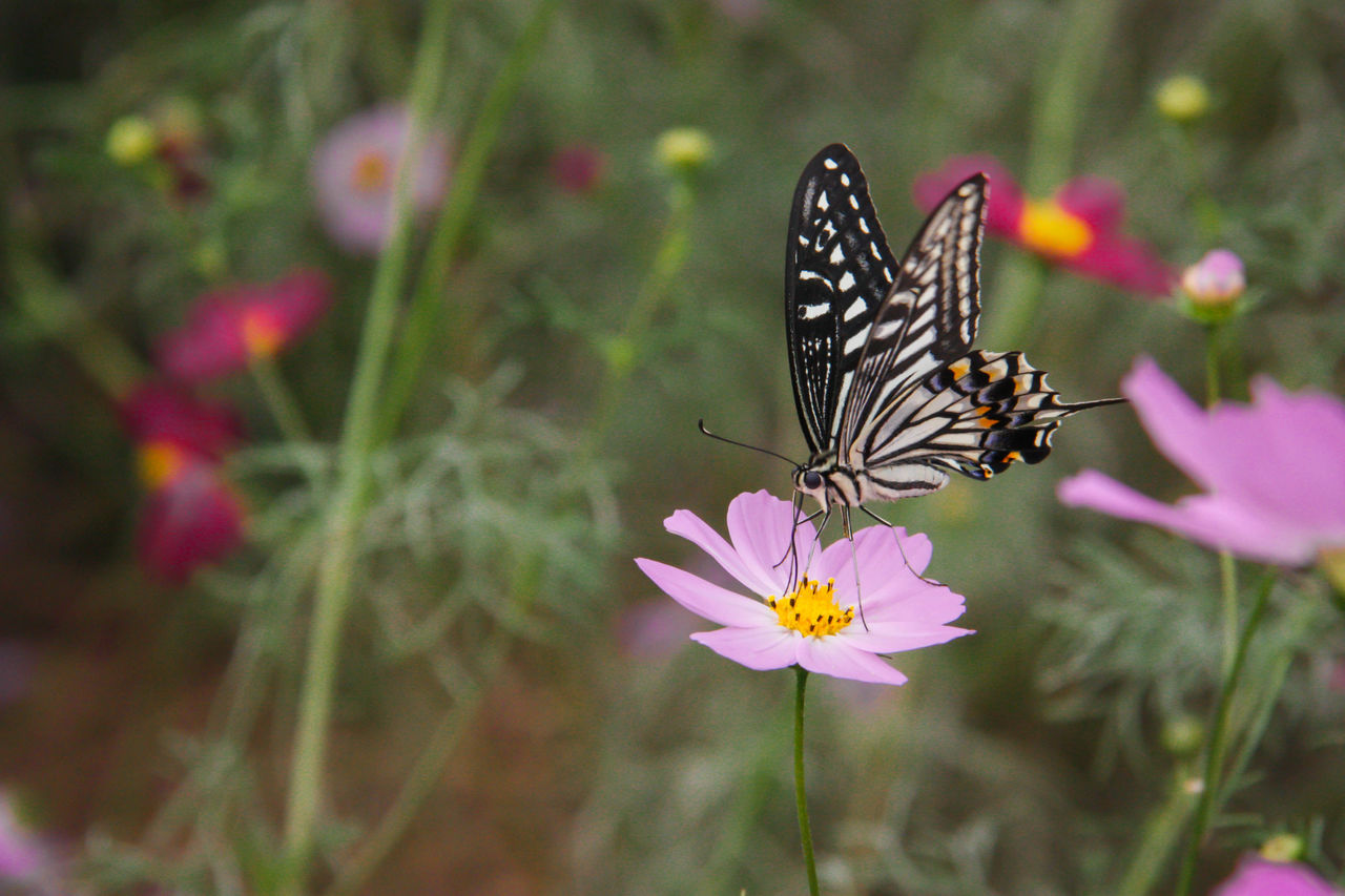 flower, flowering plant, animal wildlife, animal themes, beauty in nature, insect, animal, animals in the wild, one animal, invertebrate, animal wing, vulnerability, fragility, freshness, plant, butterfly - insect, petal, flower head, close-up, growth, pollination, no people, pollen, butterfly, purple
