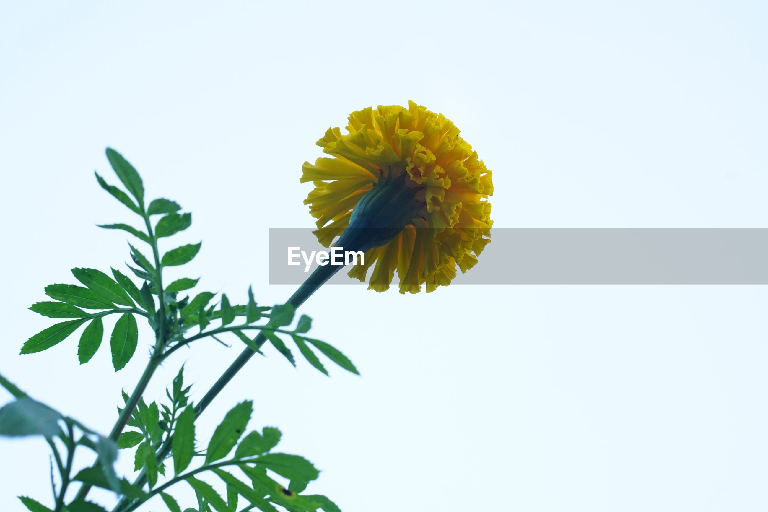 CLOSE-UP OF YELLOW FLOWER BLOOMING AGAINST CLEAR SKY