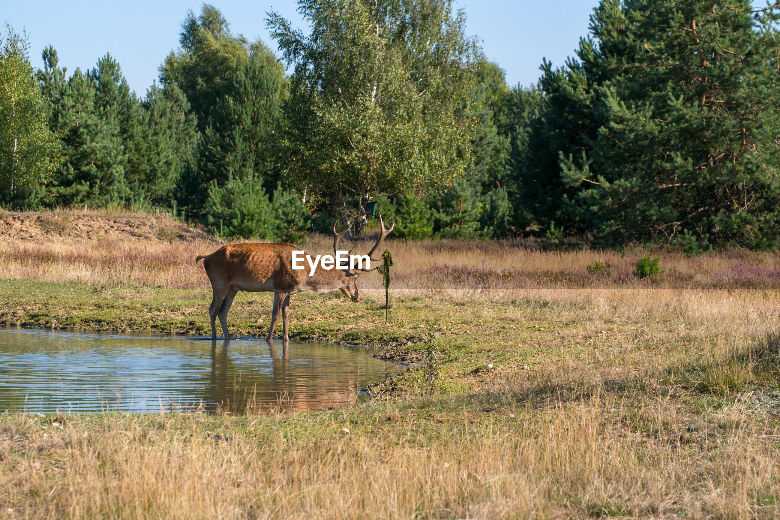 Deer standing in lake