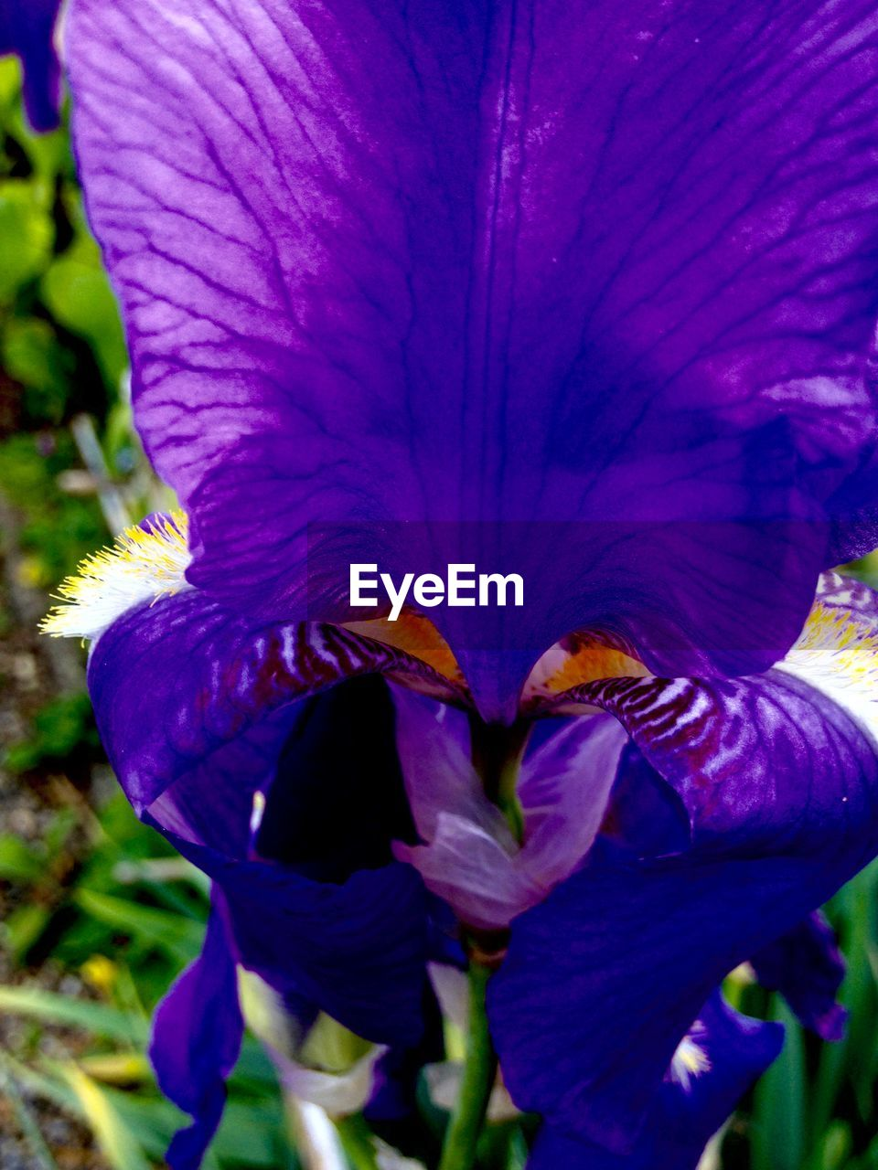flower, petal, fragility, beauty in nature, growth, nature, freshness, flower head, plant, close-up, outdoors, no people, day, blooming, purple, springtime, stamen, iris - plant, day lily, petunia, crocus