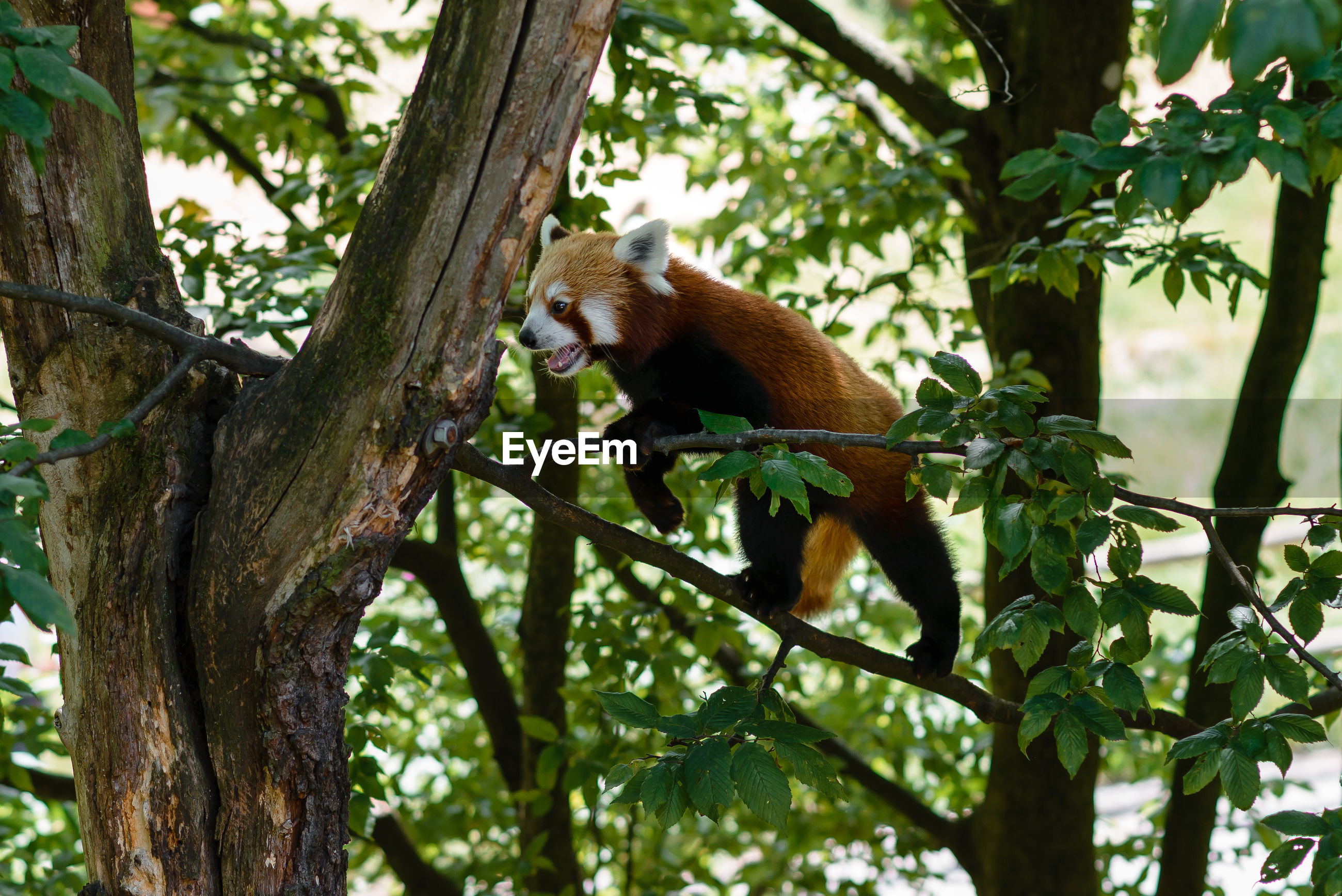 Low angle view of red panda in a tree