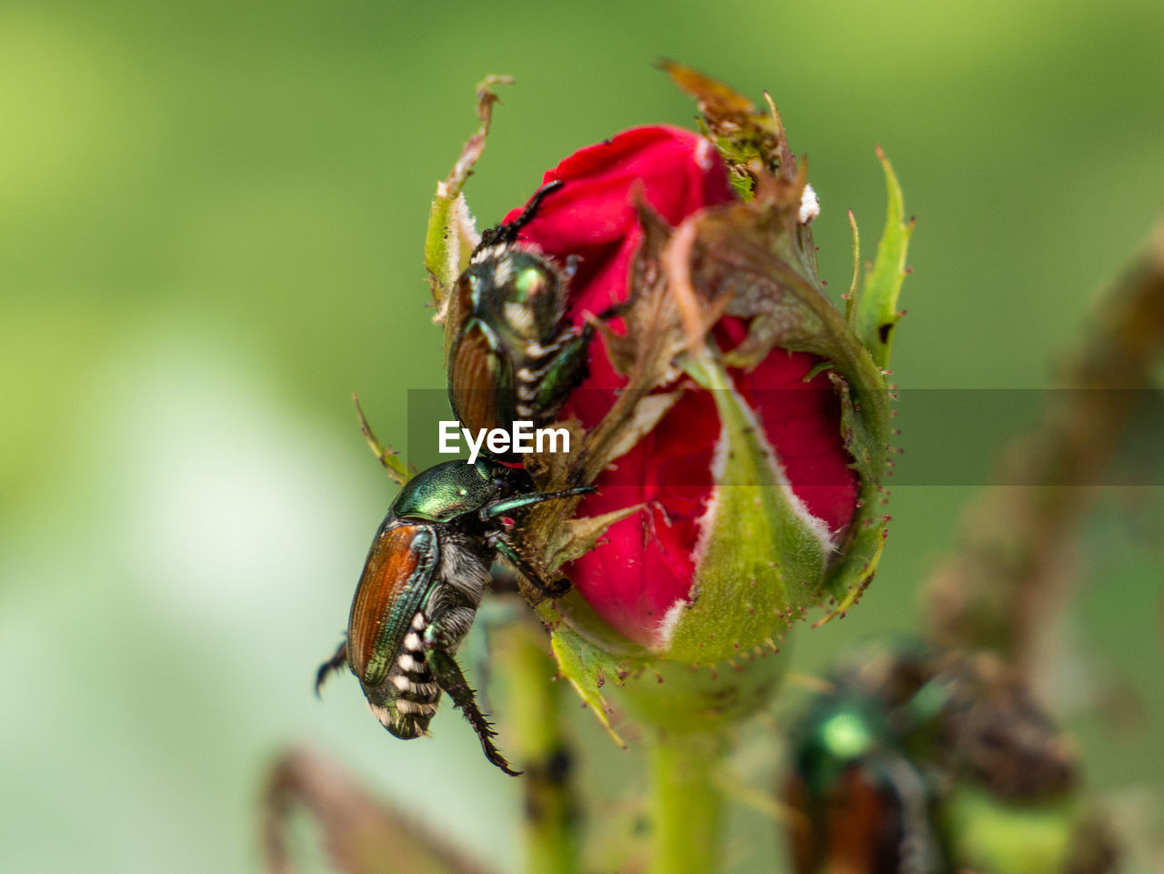 animal wildlife, animals in the wild, animal themes, insect, animal, invertebrate, close-up, one animal, plant, flower, flowering plant, focus on foreground, red, nature, no people, beauty in nature, day, growth, green color, outdoors, pollination, flower head