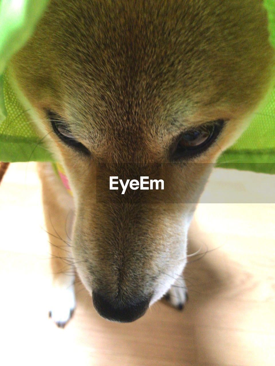 dog, one animal, pets, domestic animals, animal themes, mammal, close-up, animal head, indoors, portrait, no people, day, beagle