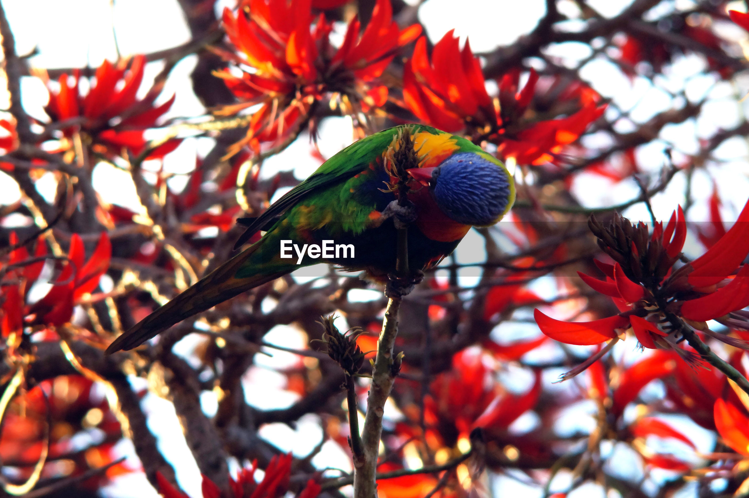 Rainbow lorikeet perching on branch