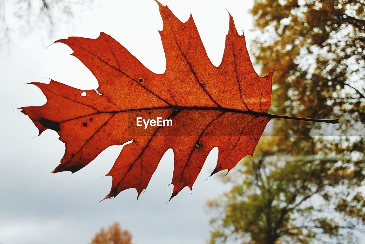 LOW ANGLE VIEW OF MAPLE LEAF AGAINST SKY