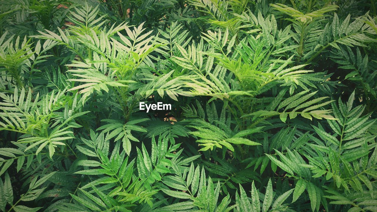 green color, growth, leaf, nature, marijuana - herbal cannabis, plant, high angle view, cannabis plant, day, close-up, beauty in nature, outdoors, no people, freshness, fragility