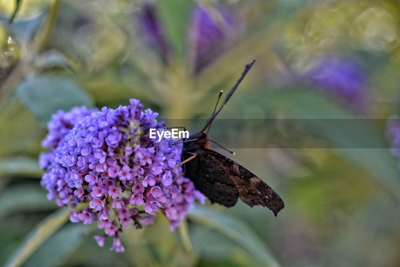 flower, flowering plant, invertebrate, insect, animal wildlife, animals in the wild, fragility, animal themes, plant, beauty in nature, animal, vulnerability, one animal, freshness, growth, close-up, nature, no people, animal wing, purple, flower head, pollination, butterfly - insect, butterfly