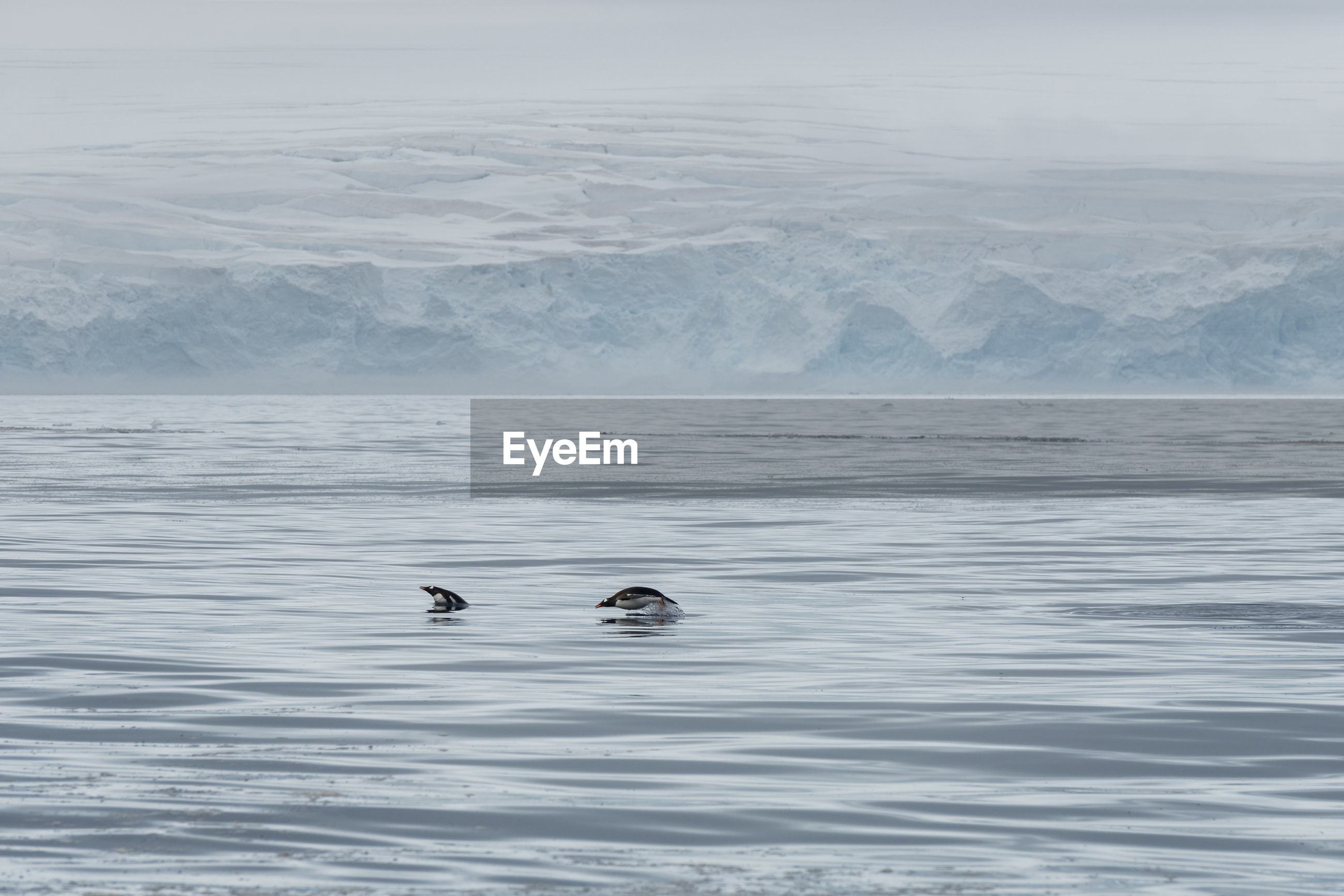 Gentoo penguins porpoising in front of a glacier outside low island in the antarctic.