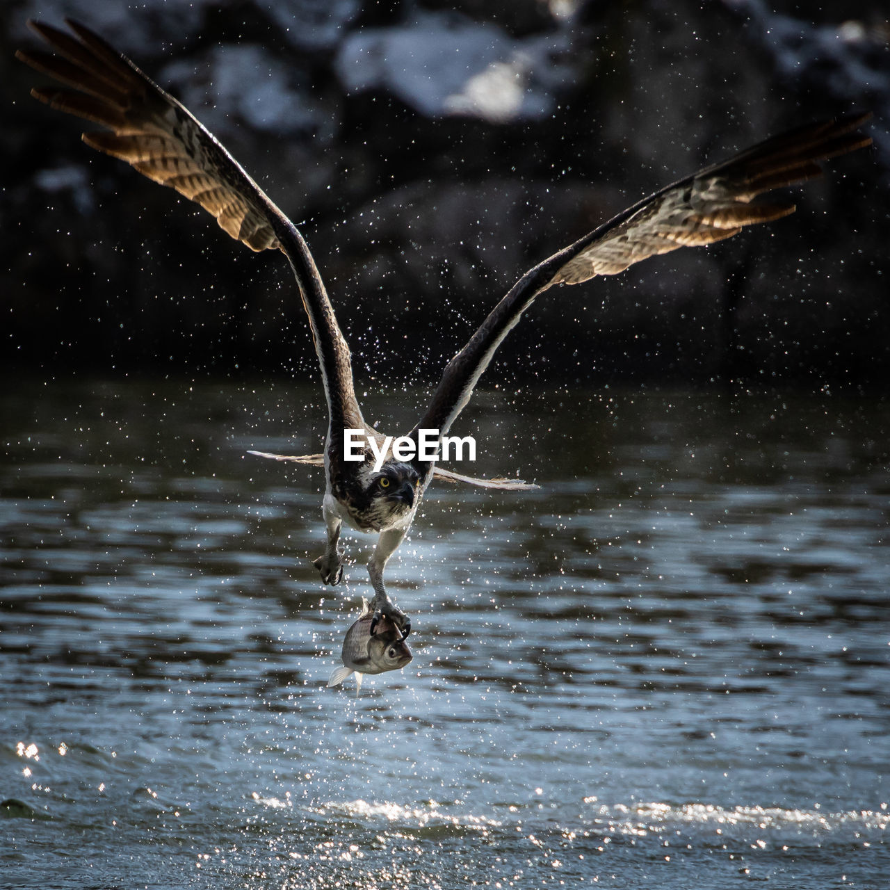 water, animals in the wild, animal wildlife, animal, animal themes, flying, vertebrate, motion, bird, spread wings, one animal, waterfront, nature, splashing, no people, focus on foreground, lake, mid-air, day, outdoors, flapping