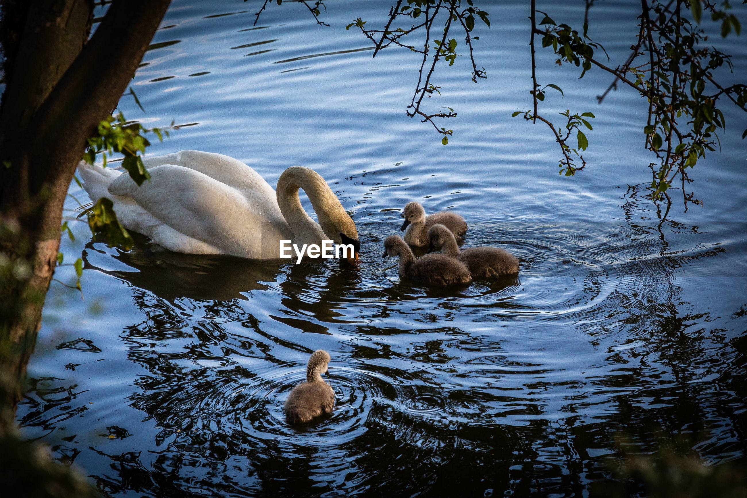 Mute swan foraging with cygnets in lake
