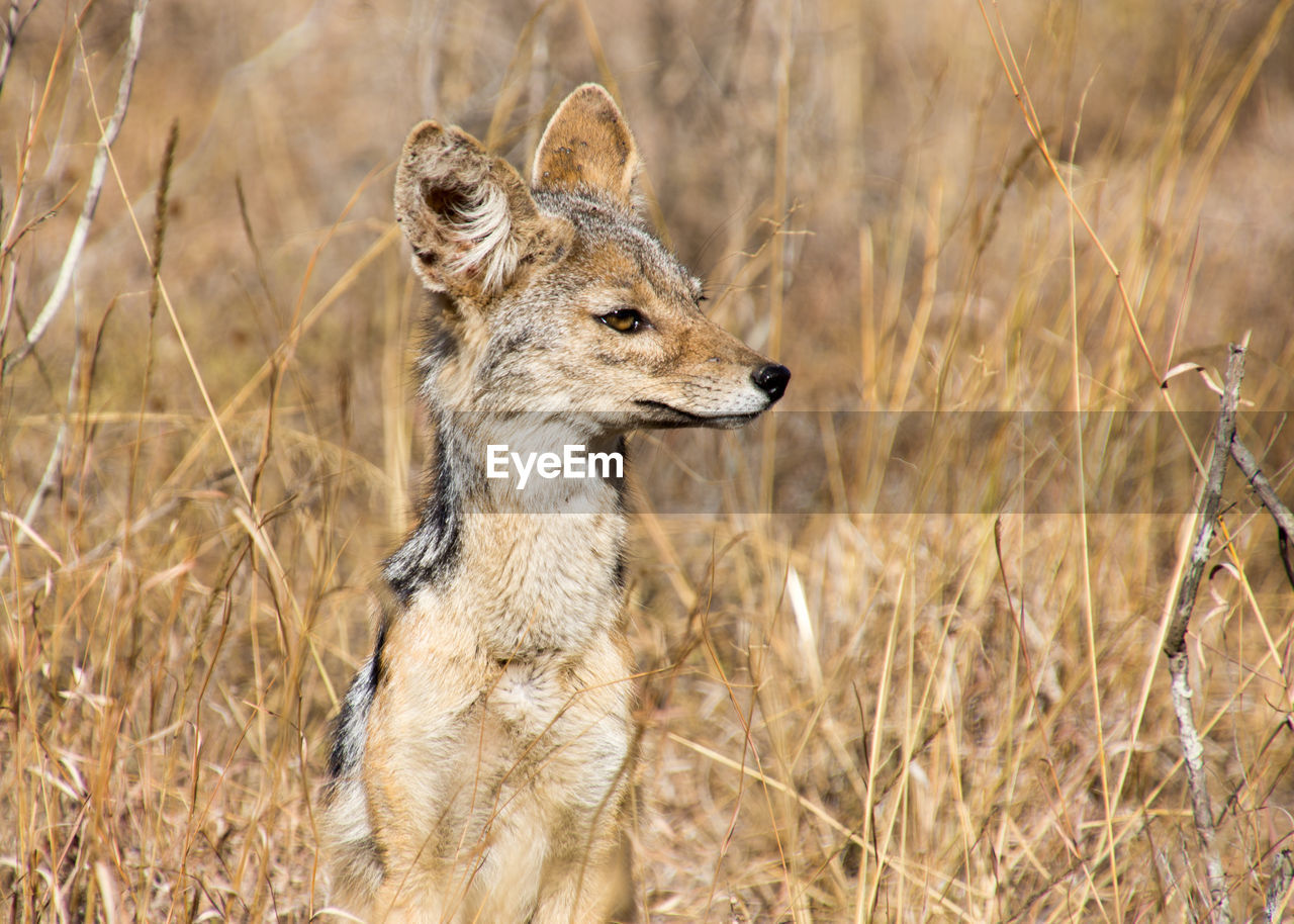Close-Up Of Jackal Sitting On Field
